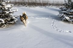 Husky dog runs through  snow after blizzard. Siberian husky in snow drift. Husky dog runs through snow after blizzard. Siberian husky in snow drift. Copy paste Royalty Free Stock Photo