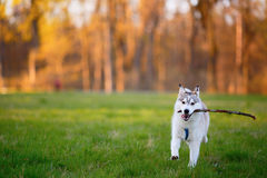 Husky dog runs with a wooden stick in his mouth in park Stock Photography