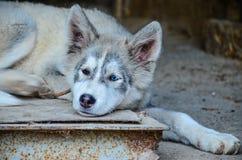 Husky dog Royalty Free Stock Photos