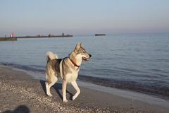 Husky Dog by the sea Stock Images