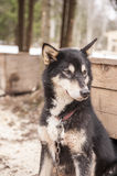 Husky dog siberian animal Royalty Free Stock Images