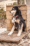 Husky dog siberian animal Royalty Free Stock Photography