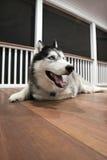 Husky Dog. Siberian Husky with Blue Eyes Stock Photography