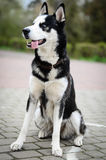 Husky dog Stock Photo
