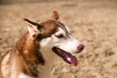 Husky Dog sits on a site for dog training Stock Photography