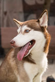 Husky Dog sits on a site for dog training Royalty Free Stock Images