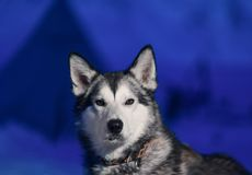 Husky dog sitting close-up of white light eyes against the background of a polar winter night on Spitsbergen Svalbard royalty free stock images