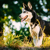 Husky Dog Sitting In Green Grass Outdoor. Summer stock images