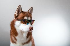 Husky dog in ski goggles. Portrait red siberian husky in sunglasses Royalty Free Stock Photography