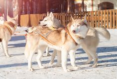 Husky in a dog sled. The husky in a dog sled stock photo