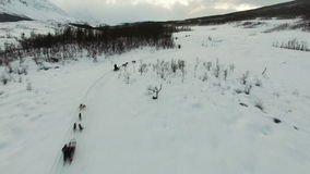 Husky dog sledding from drone aerial footage stock video