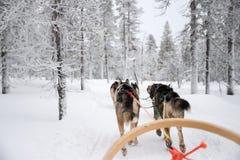 Husky dog sledding in Lapland Finland. Husky dog sledding in Lapland, Finland Royalty Free Stock Photos