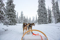Husky dog sledding in Lapland Finland Royalty Free Stock Image