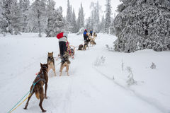 Husky dog sledding in Lapland Finland Stock Image