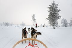Husky dog sledding in Lapland Finland. Husky dog sledding in Lapland, Finland royalty free stock image