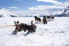 Husky Dog Sledding - Rest Time. Special Adventure in Alaska - Husky Dogsled Experience - Travel Destination Stock Photos