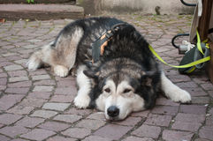 husky dog sleeping in the street attached with leash Stock Images