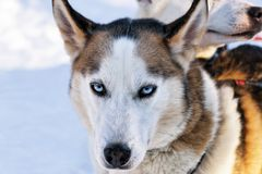 Husky dog in sleigh in Lapland Finland. Husky dog in sleigh in Lapland, Finland Royalty Free Stock Image