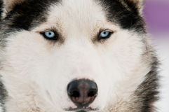 Husky dog smile Royalty Free Stock Photo
