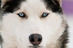Husky dog smile Royalty Free Stock Photo