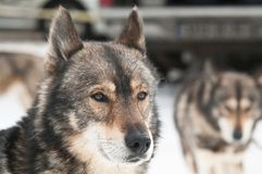 Husky dog smile royalty free stock photos