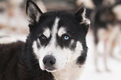 Husky dog smile royalty free stock images