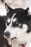 Husky dog smile royalty free stock photography
