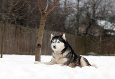 Husky dog on the snow Royalty Free Stock Image