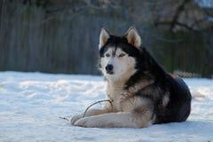 Husky dog on the snow Stock Photo