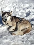Husky dog among snow. Husky dog lying in the snow Royalty Free Stock Images