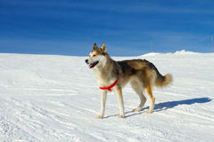 Husky dog in the snow Stock Image