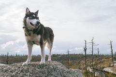 Husky Dog Standing feliz en un pico de montaña en la trayectoria del senderismo Imagen de archivo libre de regalías