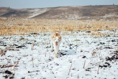 Husky dog standing on frozen, snowy ground looking at the viewer royalty free stock photos