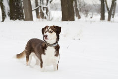 Husky Dog Standing in The Snow. Stock Images