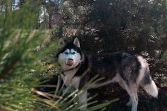 Husky dog stands and licks. Coniferous park forest, hunter, hungry wild wolf royalty free stock images