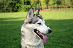 Husky dog. Stare in the park Royalty Free Stock Photo