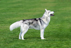 Husky dog staying on the green field. Young husky dog staying on the green field Royalty Free Stock Images