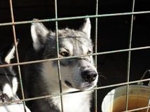 Husky`s dog stuck his nose through the cage stock photography