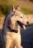 Husky Royalty Free Stock Photography