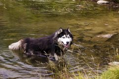 Husky dog swimming in water. Husky dog swimming in the cristal clear water of a mountain spring stock image