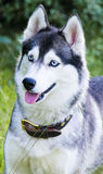 Husky dog. Syberian husky dog chilling with it's mouth opened Stock Photos