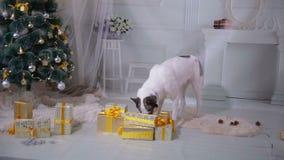 Husky dog tasting christmas gifts. Funny christmas situation. stock footage