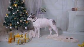Husky dog tasting christmas tree. Funny christmas situation. stock video footage