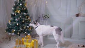 Husky dog tasting christmas tree. Funny christmas situation. stock video