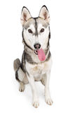 Husky Dog Tongue Hanging Out Royalty Free Stock Photography