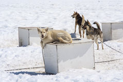 Husky dog on top of kennel. Musher Camp - Husky Dogs - Mendenhall Glacier Juneau Ice Field Alaska - Travel Destination Royalty Free Stock Photos