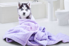 Husky dog with towel in the bathroom Royalty Free Stock Photos