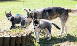 Husky dog and two puppies Royalty Free Stock Images