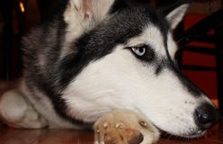 Beautiful Husky dog up close Stock Image