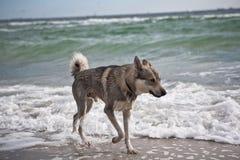 Husky Dog vid havet Arkivbilder